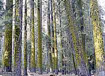 Mossy Trees in Sequoia Grove